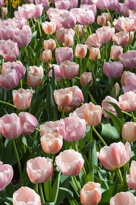 Tulips, Garvan Woodland Gardens