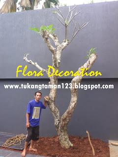 ttukang taman minimalis menjual pohon kamboja fosil batang besar dengan harga paling murah serta bebas ongkos kirim, jasa penanaman pohon besar