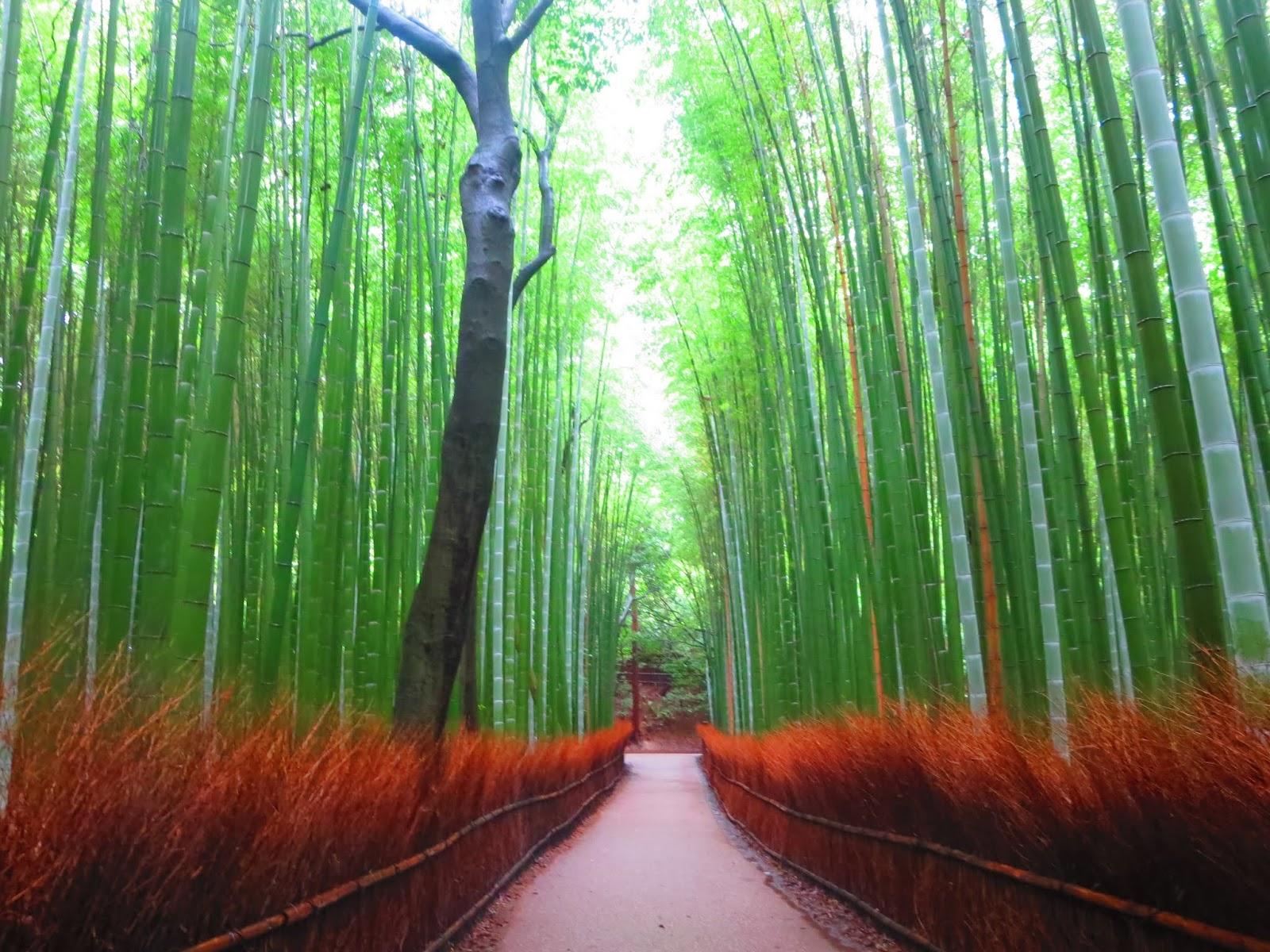 Bosco Di Bamb.Giappone 2015 Il Bosco Incantato Di Bambu