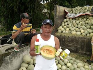 pupuk melon agar berbuah lebat