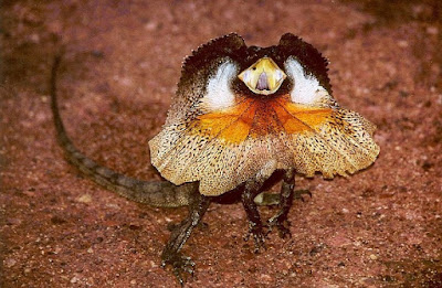 Frill-necked-Lizard-السحلية-المزركشة