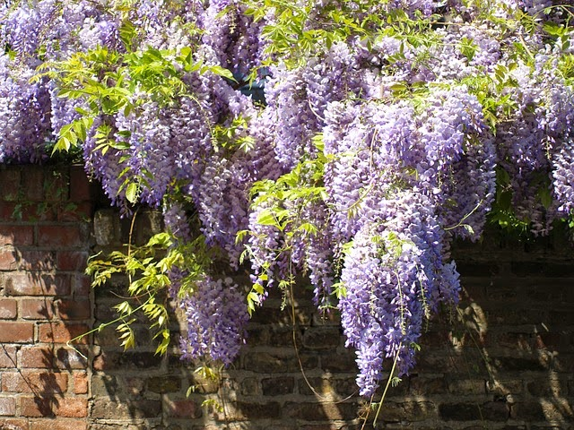 Tips on growing a Wisteria Vine