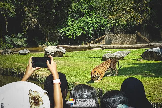 Tiger feeding session at Lost World of Tambun