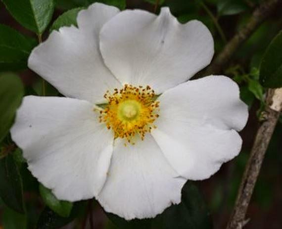 Gwa fourth grade blog social studies georgia history for Cherokee rose