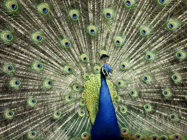 الطاووس الأزرق(أستراليا). الصورة من قبل Anne Keiser
