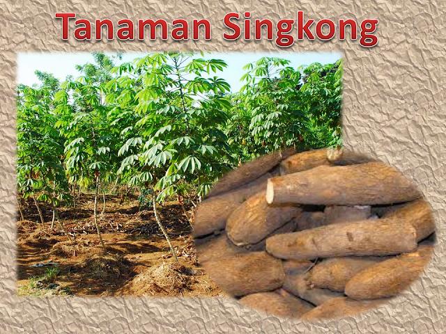 Budi Daya Tanaman Singkong