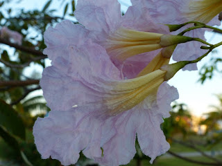 Tabebuia rosea - Tabébuia rose - Tecoma rose