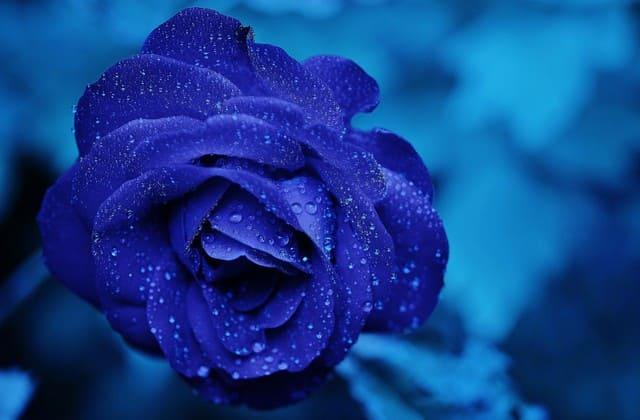 keindahan mawar biru saat terkena hujan