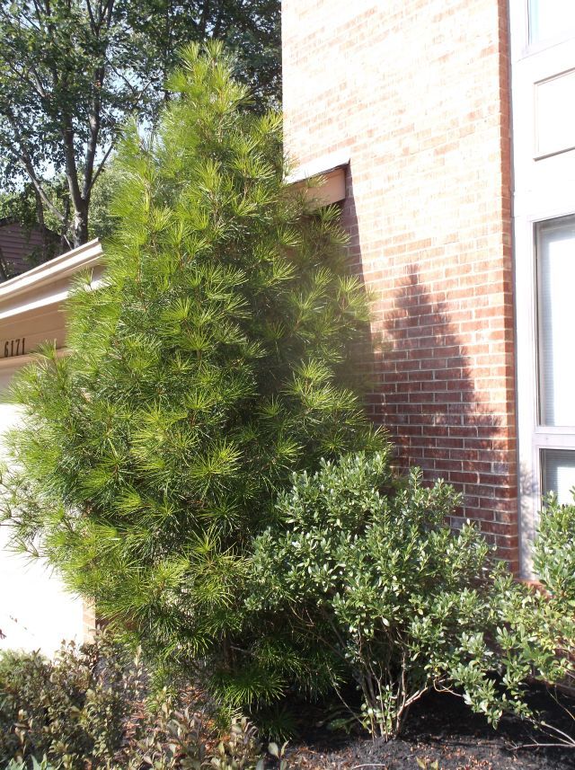 Future Plants By Randy Stewart Sciadopitys Japanese Umbrella Pine