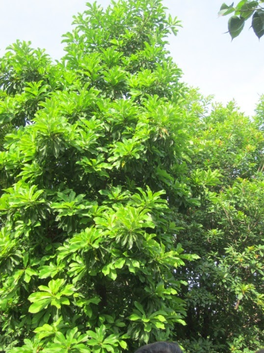 Trees of Nanmangalam Forest (Kanchipuram - Tamil Nadu) | My