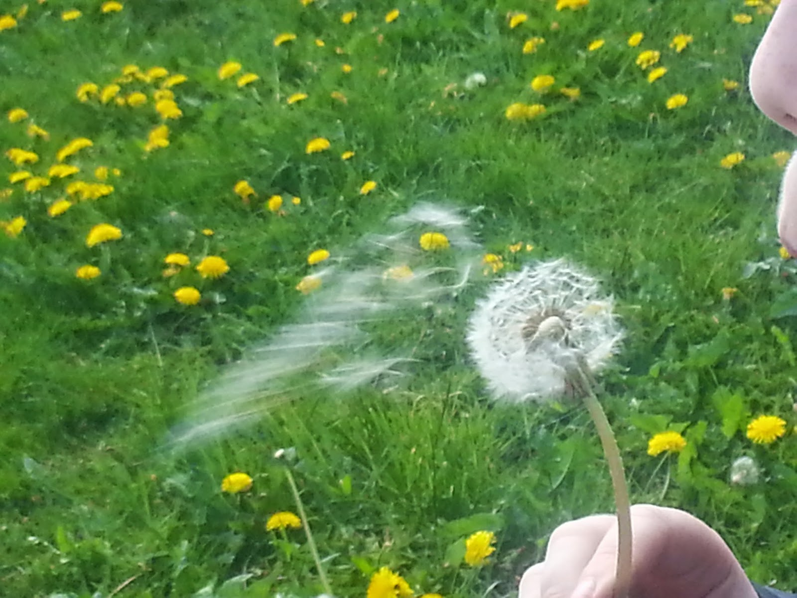 Blowing a dandelion clock