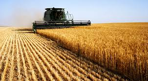 combine harvesting wheat crop