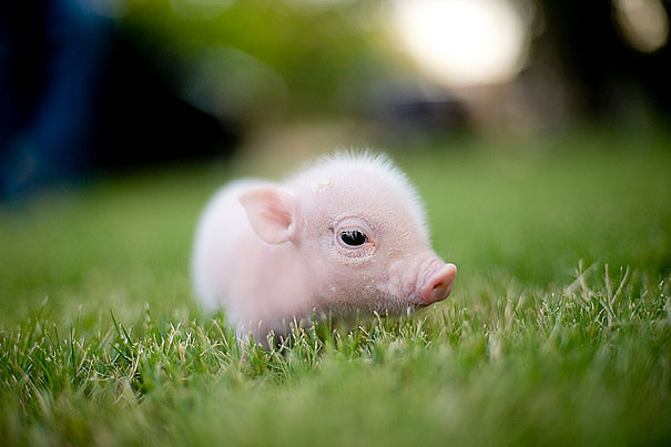 Baby Animals: Piggies
