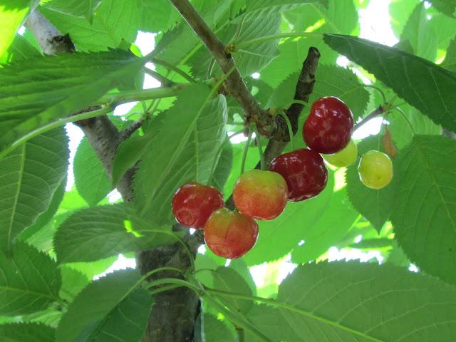 Prunus avium fruits