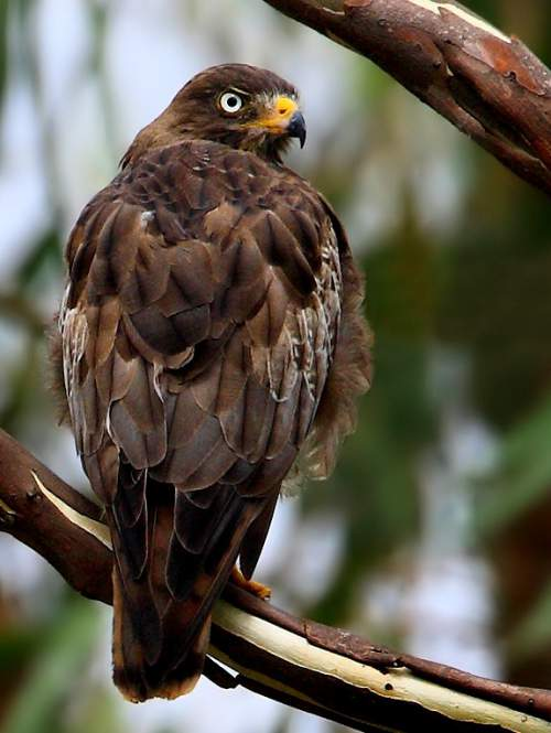 Indian birds - Image of White-eyed buzzard - Butastur teesa