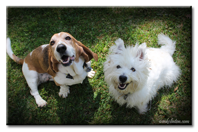 Bentley Basset Hound and Pierre Westie enjoy National Goof Off Day