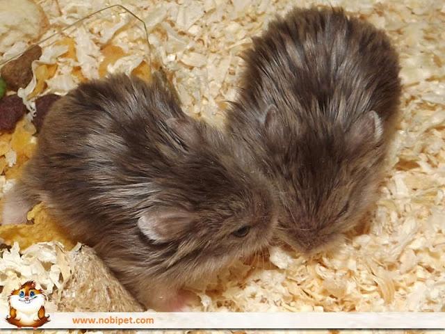 mua-ban-chuot-hamster-soc-socola-trang-tra-sua-14