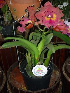 Hoa Catleya tại hội Hoa xuân 2018
