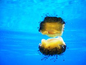 Come fanno le meduse a riprodursi