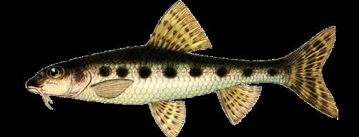 Виды речных и озерных рыб (Пескарь)