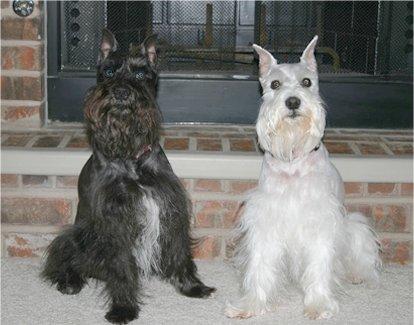 cute dogs miniature schnauzer dog
