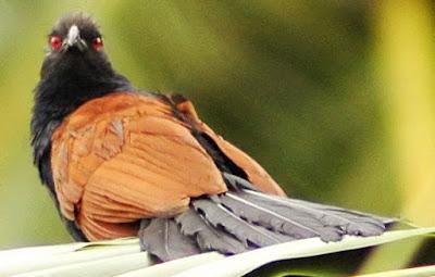 burung bubut
