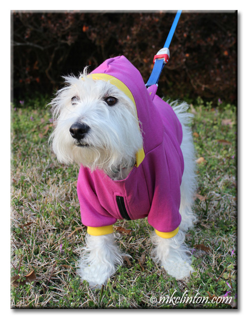 White West Highland Terrier wearing hood on PrideBites hoodie