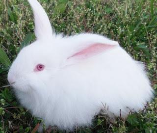 Cara memandikan kelinci anggora yang benar