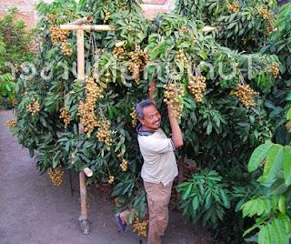 cara budidaya kelengkeng dari biji,cara budidaya kelengkeng itoh,cara budidaya kelengkeng agar cepat berbuah,cara budidaya kelengkeng pingpong,cara menanam kelengkeng,cara menanam lengkeng,