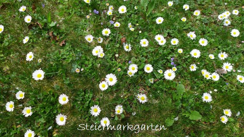 Gänseblümchen-Wiese-Steiermarkgarten