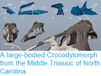 http://sciencythoughts.blogspot.co.uk/2015/03/a-large-bodied-crocodylomorph-from.html