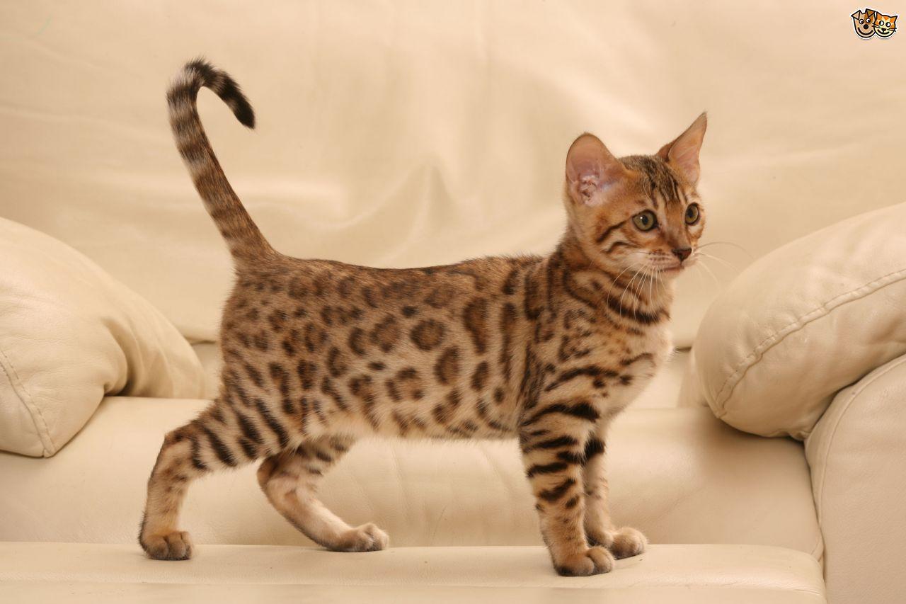 Foto Kucing Bengal Si Macan Kecil Eksotis Foto Kucing
