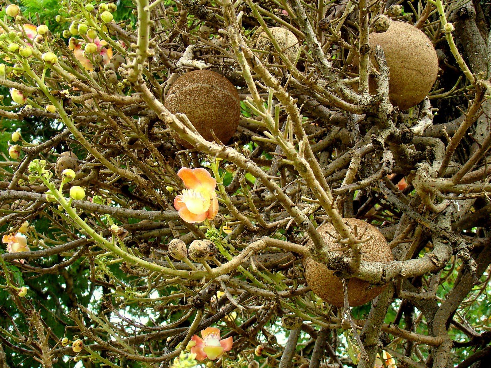 Discover srilanka sri lanka flowers cannonball tree