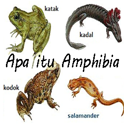 Pengertian ciri klasifikasi amphibia
