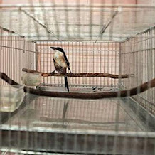 Cara Melatih Burung Cendet Agar Mau Mandi Di Keramba