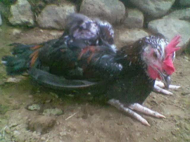 Desember 2014 Ayam Pelung Kontes