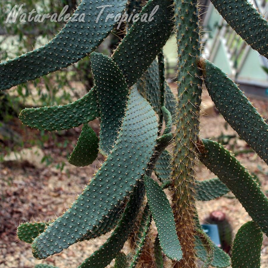 Detalles de las articulaciones y el tallo central del cactus Consolea moniliformis