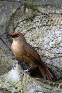 Jenis Burung Poksay Yang Terdapat Di Indonesia