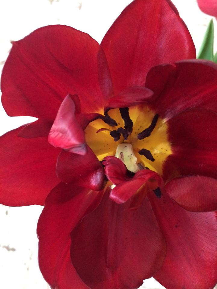 Peony Tulip, dark red