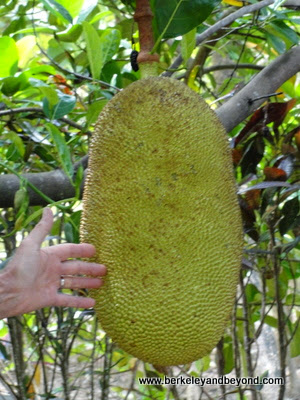 jackfruit at Na Aina Kai Botanical Gardens in Kilauea, Kauai, Hawaii