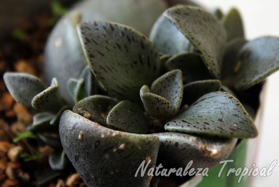 Vista de la planta suculenta Lenophyllum guttatum