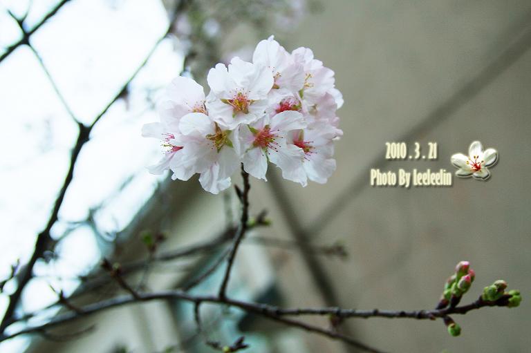 [三峽老街賞櫻]吉野櫻花