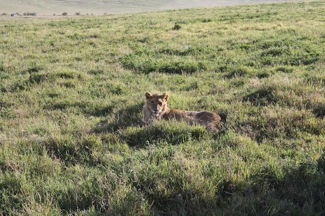 tansania safari afrikka matka ngorongoro kraateri leijona