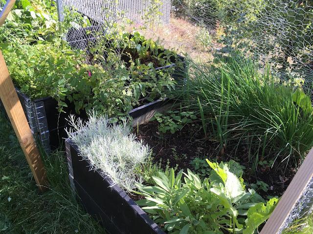 Dyrk grønnsaker økologisk - kortreist og sunt. Her ser du grønnsaker og urter somjeg dyrker i pallekarm - hyttehagen