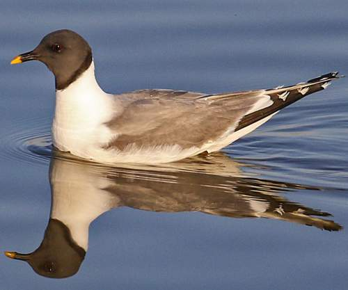 Indian birds - Picture of Sabine's gull - Xema sabini