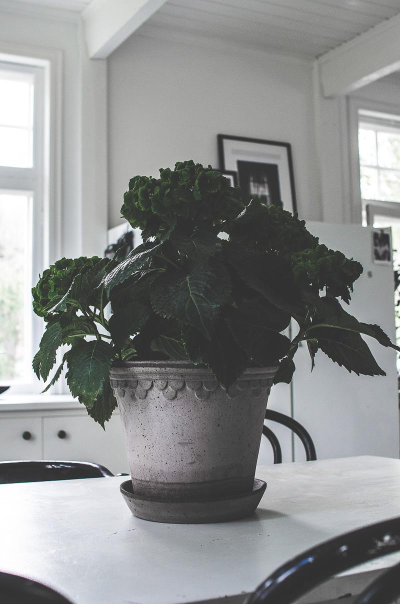 grön hortensia, bergs potter kruka