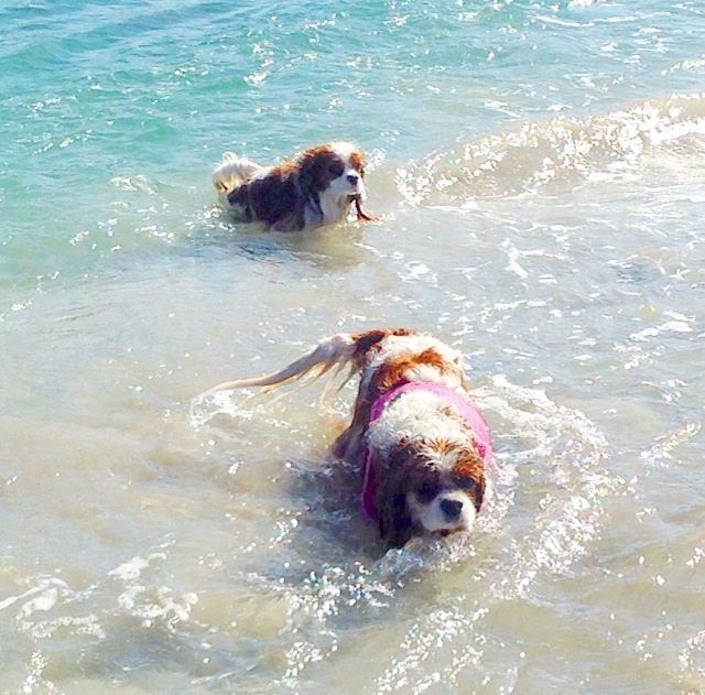 Blenheim Cavalier King Charles Spaniels playing in ocean
