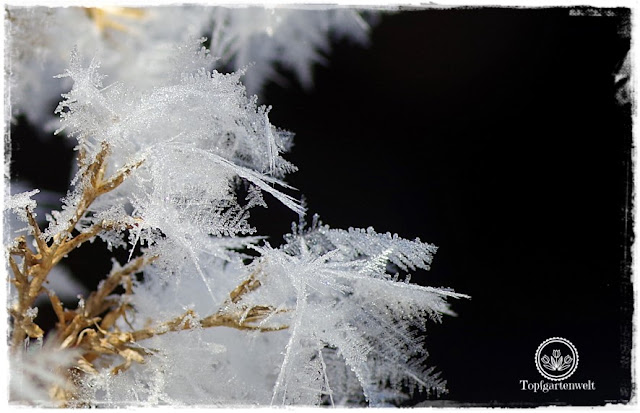 Gartenblog Topfgartenwelt Raureif: Phlox Samenstand Eiskristalle