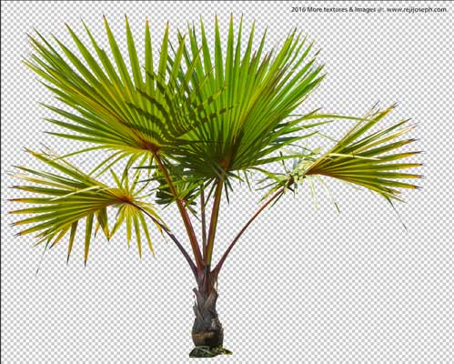 PNG palm tree plant 00002