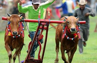 Festival Karapan Sapi